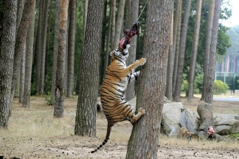 tigers-eating-meat-00