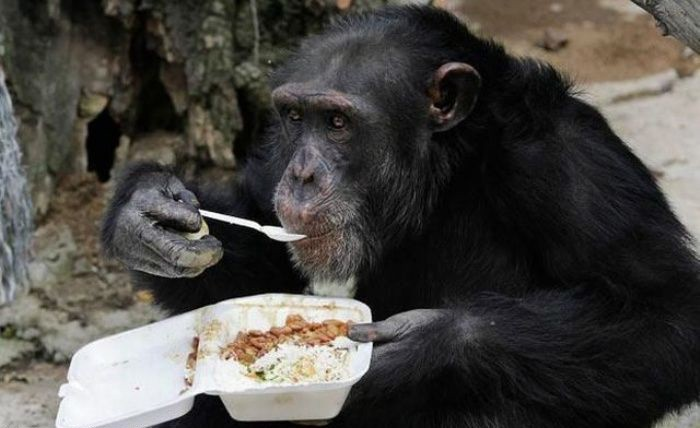 funny-monkey-eating-lunch-with-spoon