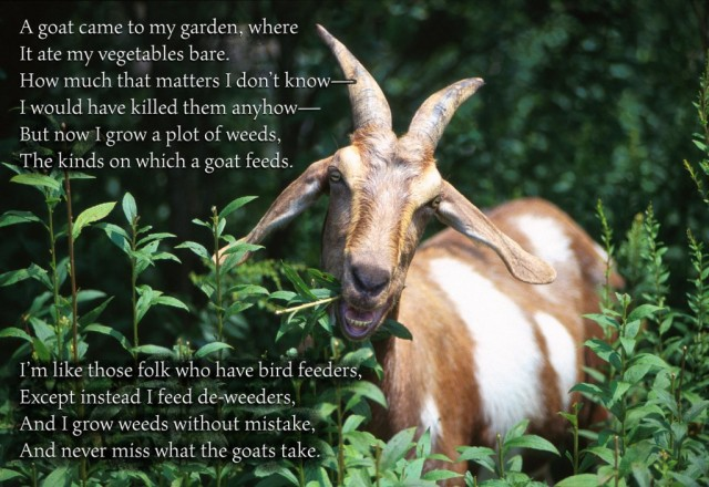 A goat came to my garden