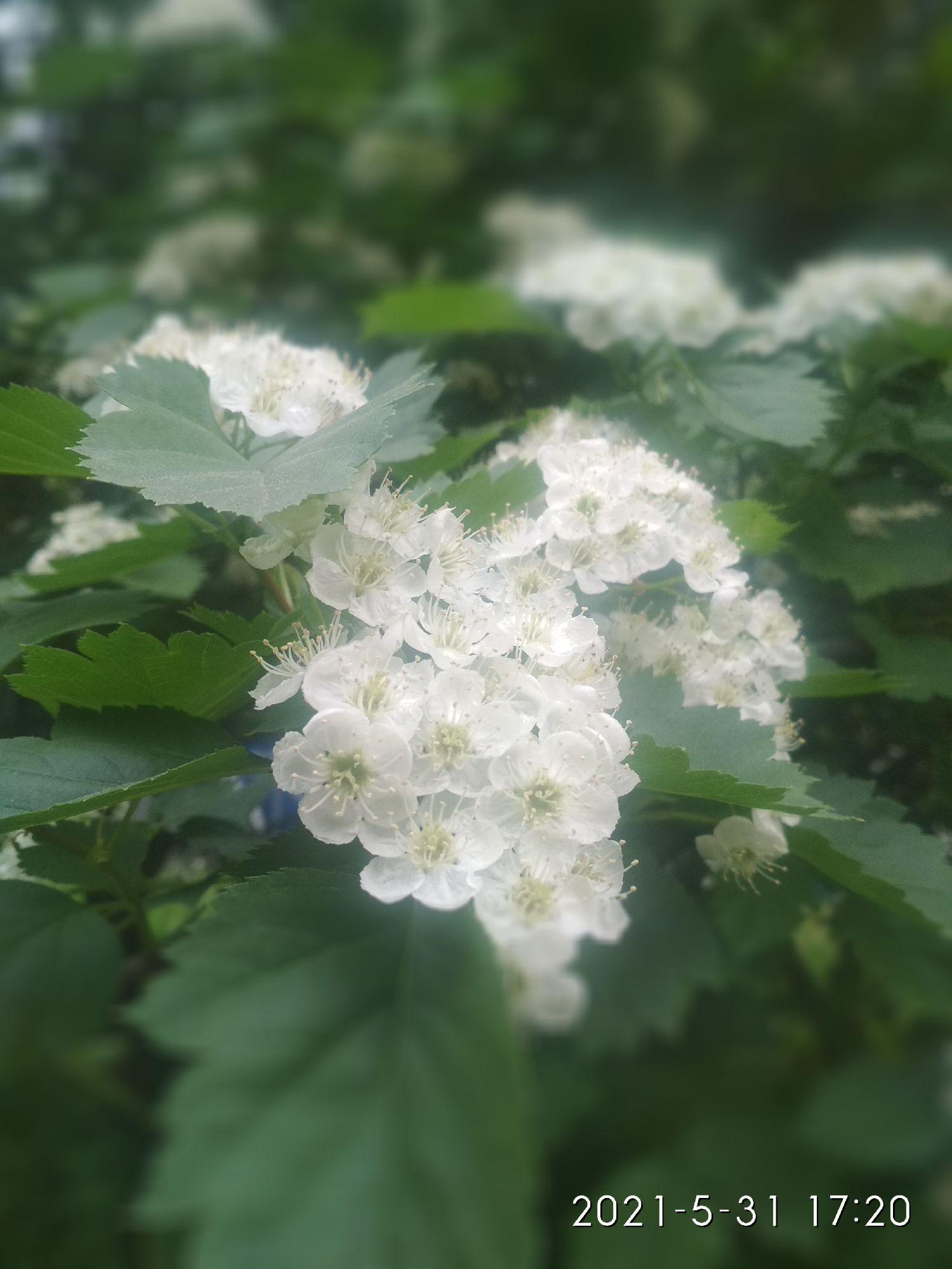 Такой нежный и прекрасный цветок боярышника имеет такой мерзкий запах. Зачем? Зачем такая несправедливость?
