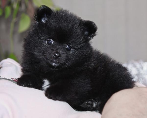 puppy 7 weeks-1