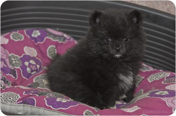 puppy 7 weeks-1-2