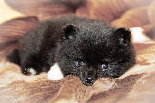 puppy 7 weeks-3