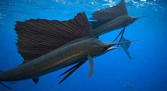 рыба-паарусник