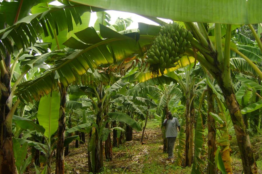 эквад бананы