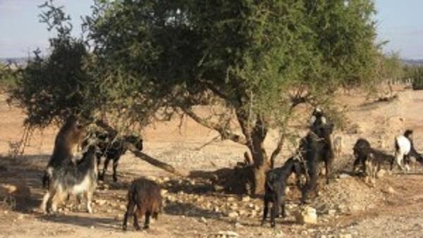 козы-марокко1-300x169