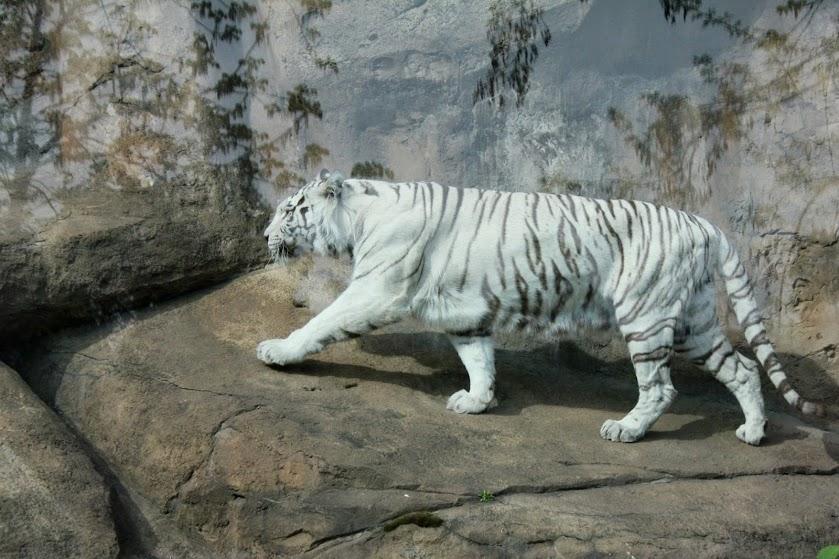 белыый тигрр