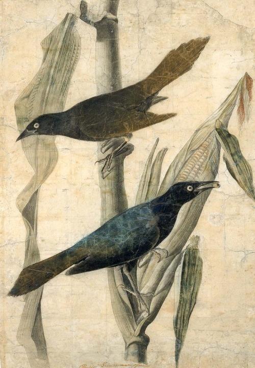 Audubon4