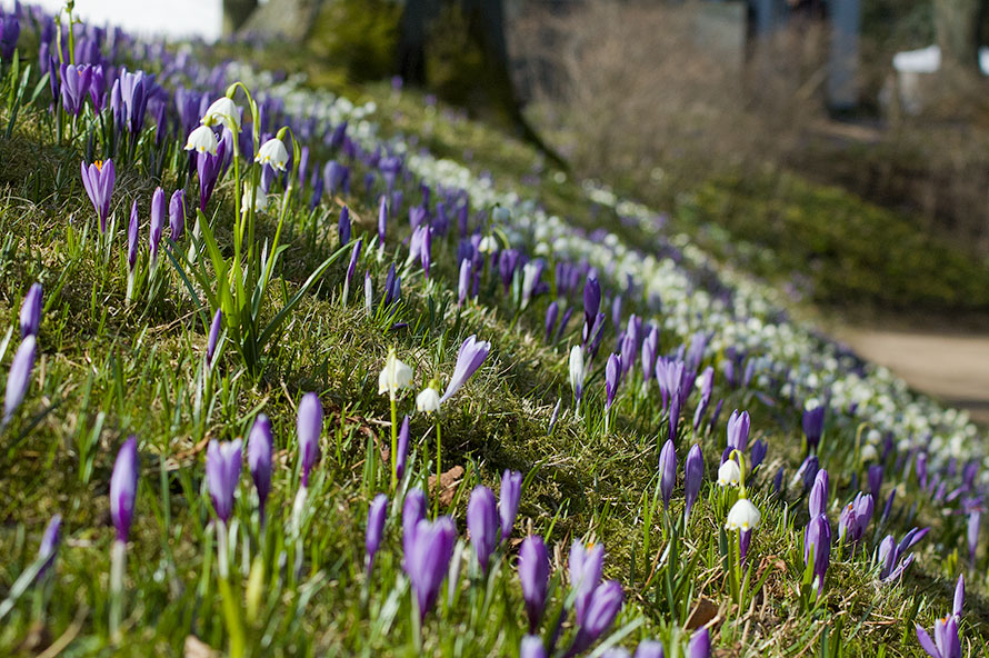 пора цветения крокусов фотогалерея
