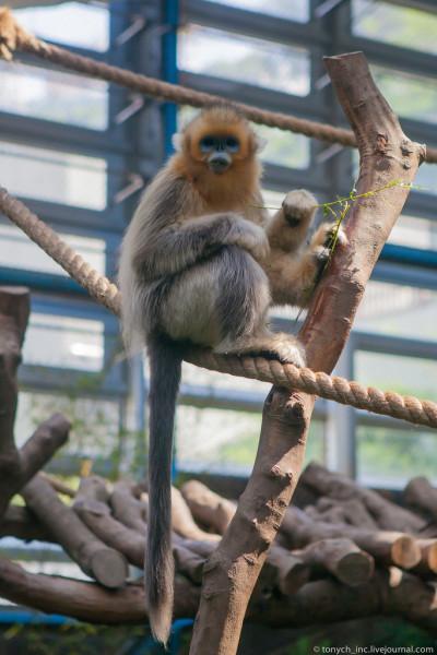Сычуаньские золотистые обезьяны