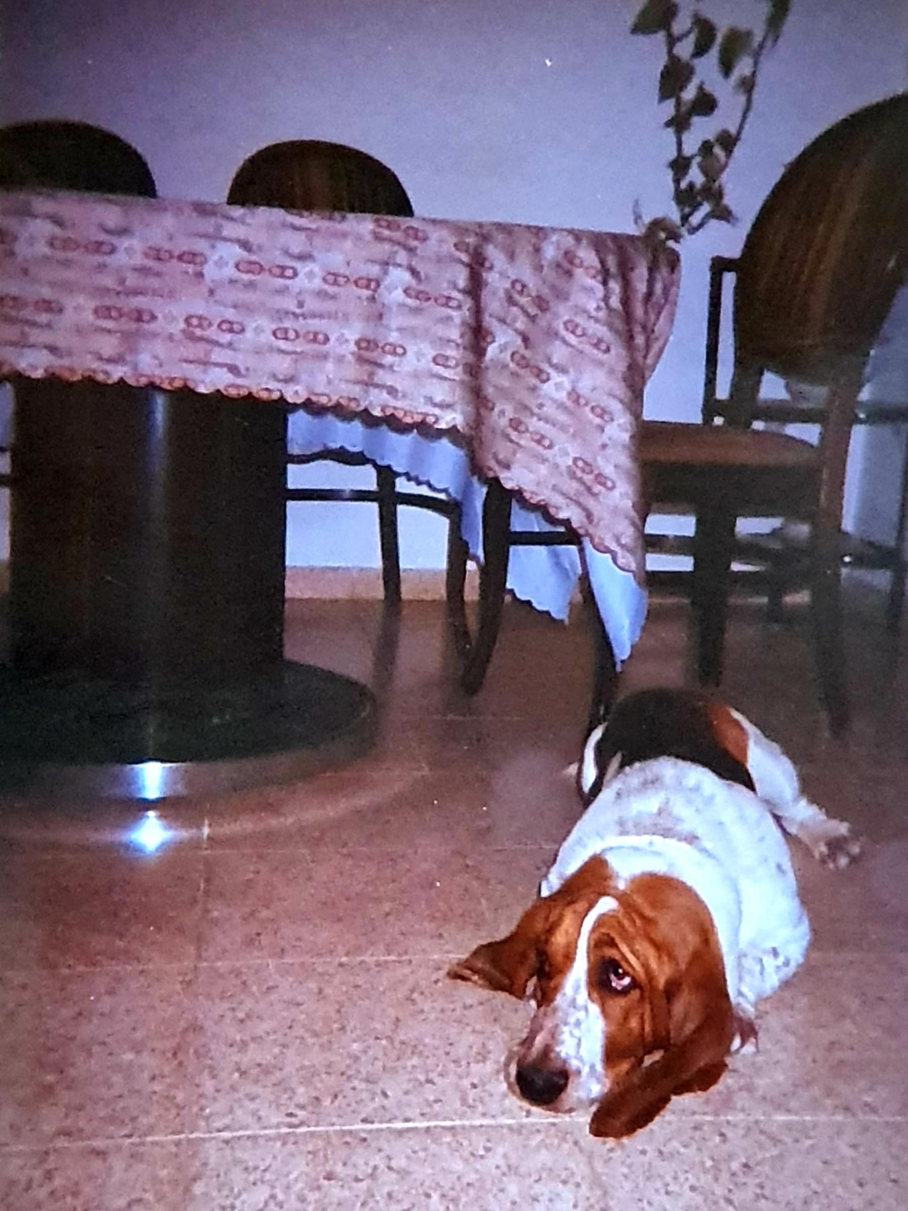 Собака, к сожалению, не моя - соседский бассет зашёл в гости к нашей птичке белокрылой.