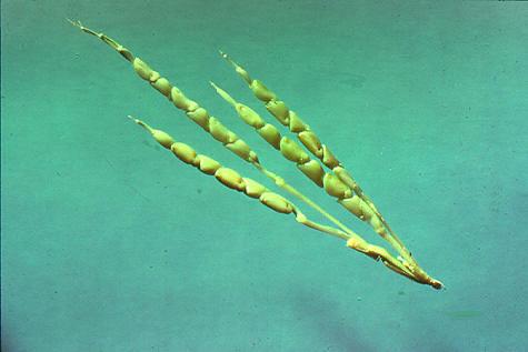 Кукуруза с белкин хуй