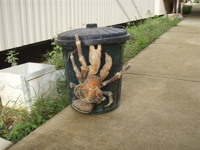 7650500_coconut_crab