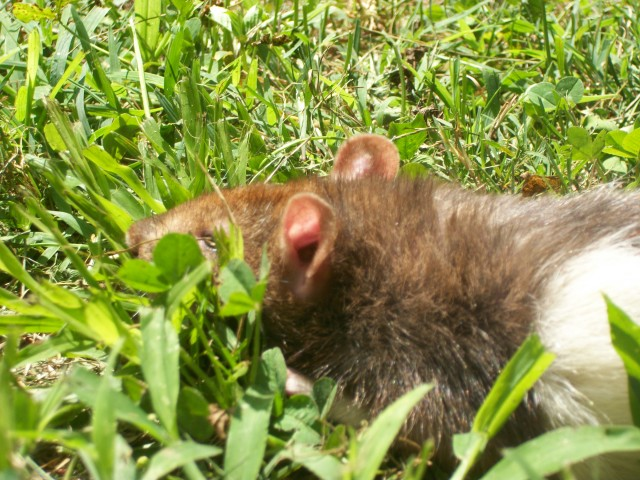 Hornsby in grass_1