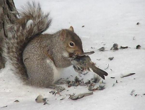 белка ест птицу