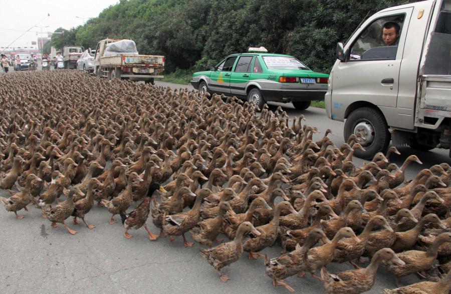 5000 уток переходят дорогу в провинции Чжэцзян, Китай.