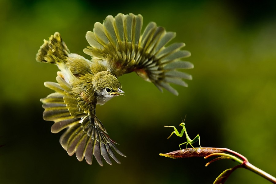 Богомол и птица