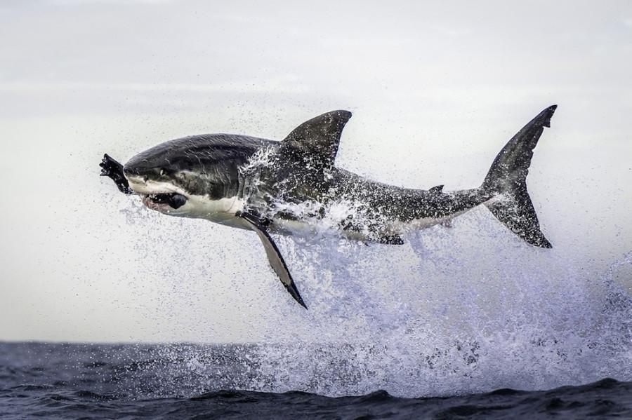 большая белая акула   в Кейптауне, Южная Африка