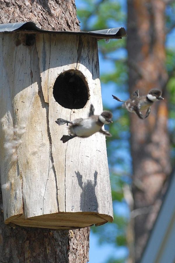 гуси покидают гнездо впервый раз