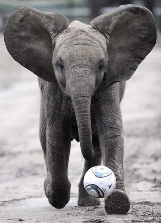 Baby elephant with soccer ball