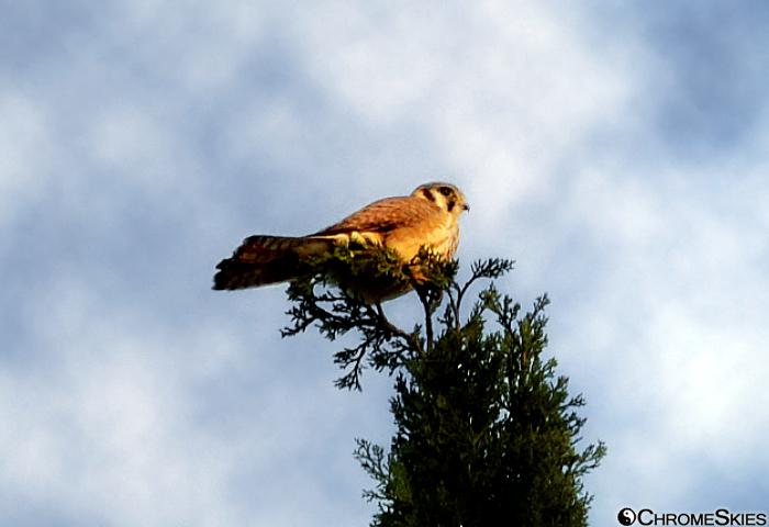 falcon_cypress