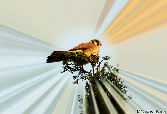 american_kestrel_falcon_radiance