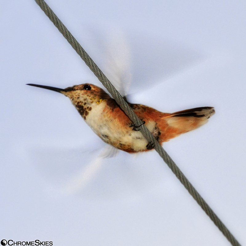 hummingbird_blurred_wings_wire