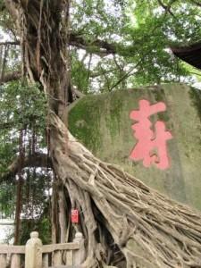 Ветви баньяна обнимают камень с иероглифом Долголетие