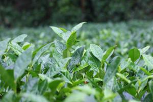Растущий чай прекрасен в любом интерьере, но особенно - в дождь.