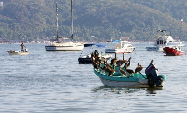 boatload of pelicans