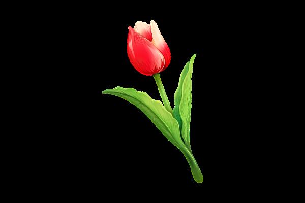 tulip-3414720_960_720