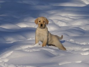 Animals_Dog_puppy_in_snow_animal_dog_Labrador_Pet_white_142748_detail_thumb