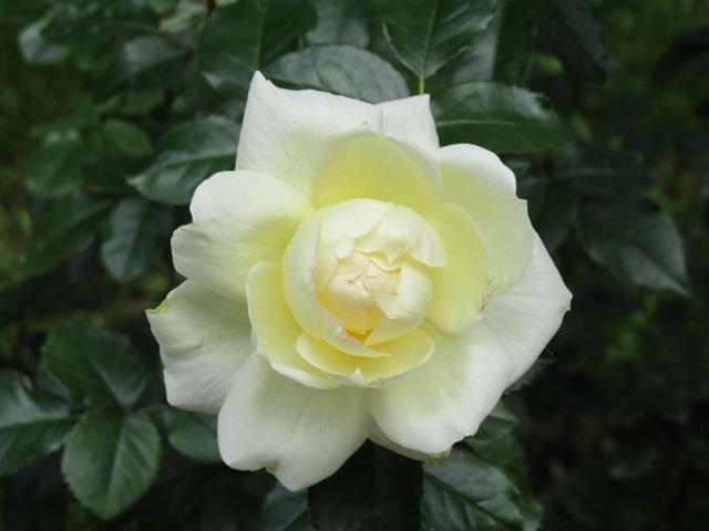 IMG_3420 роза — копия