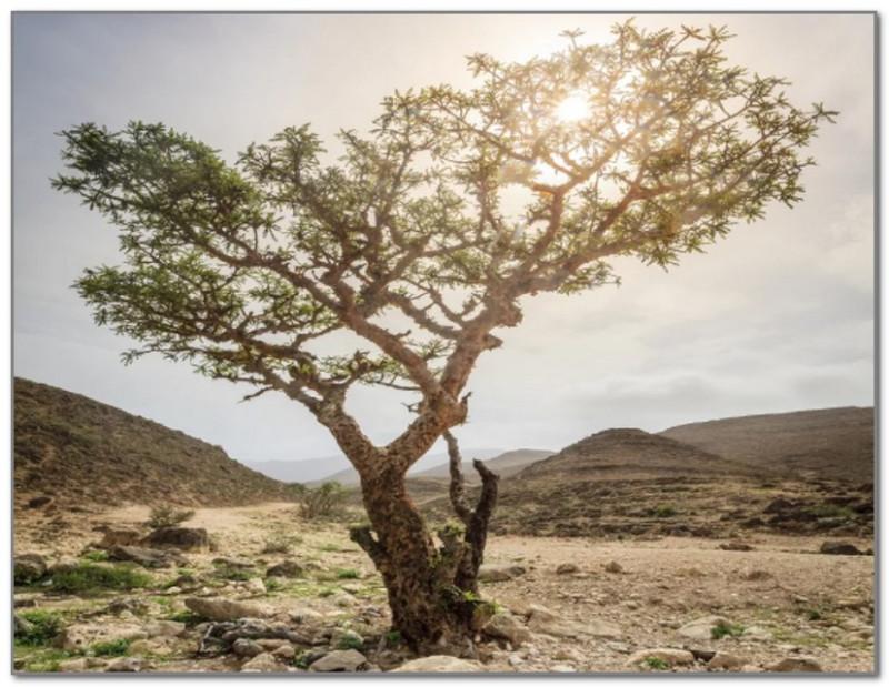 Так выглядит ладанное дерево