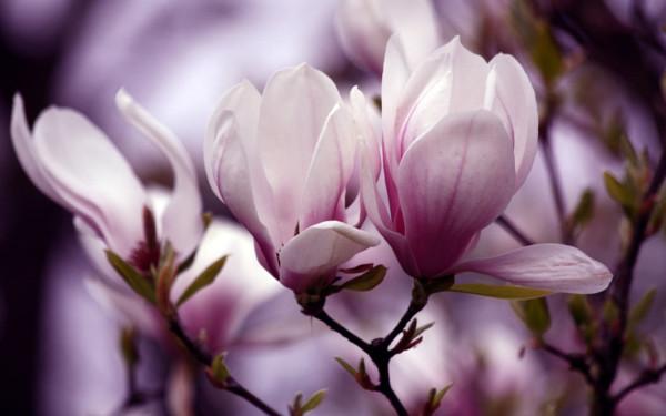 magnoliya_1920x1200