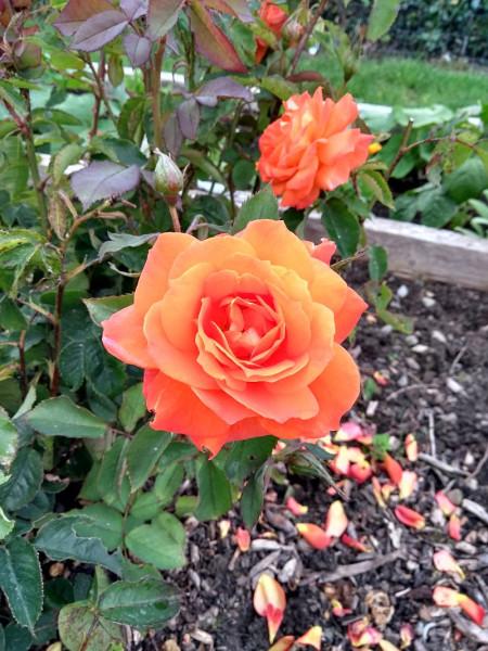 Rose-Aug 19