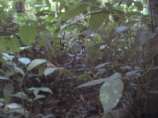 We saw this spider in the Corcavado National Park