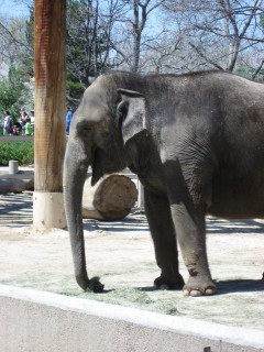Asian Elephant: A Profile Shot