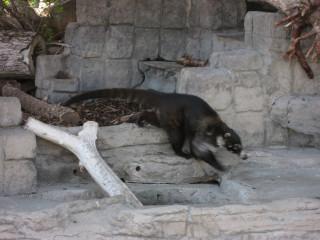 Coati on the Move