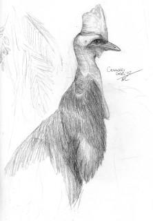 Double-Wattled Cassowary