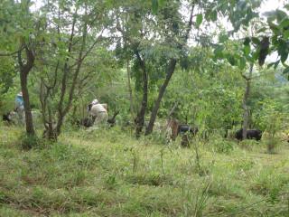 The Cows Visit Bush Camp