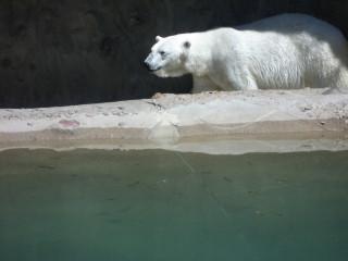 The Polar Bear Paces