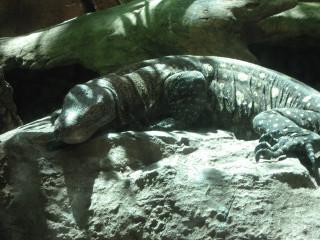 Crocodile Monitor: NOT a crocodilian.