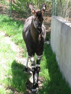 The Congo Unicorn