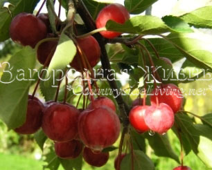 Malus-red2.jpg