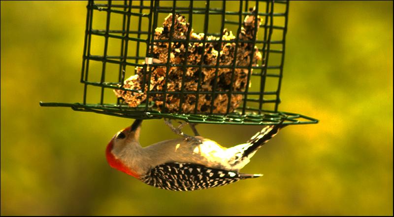 Woodpecker-8638.jpg