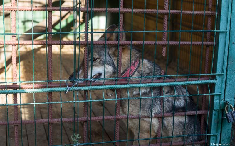 Волкособ - помесь собаки и волка