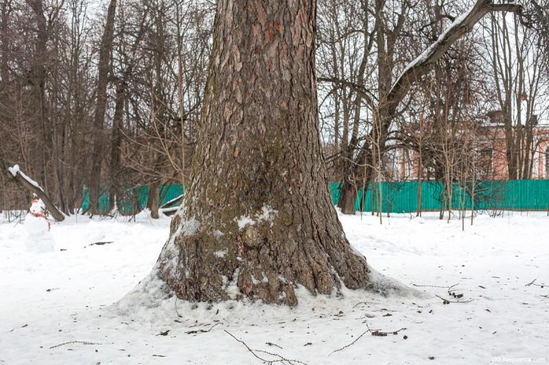 В парке у усадьбы Ясенево, старое дерево. Москва