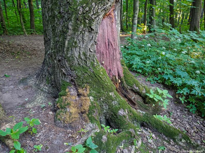 Старое толстое дерево в парке усадьбы Братцево. Москва