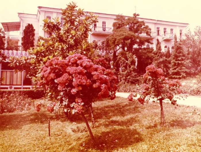 Штамбовые розы в сквере Некрасова на фоне гостиницы Таврида. Фото 1984 г.